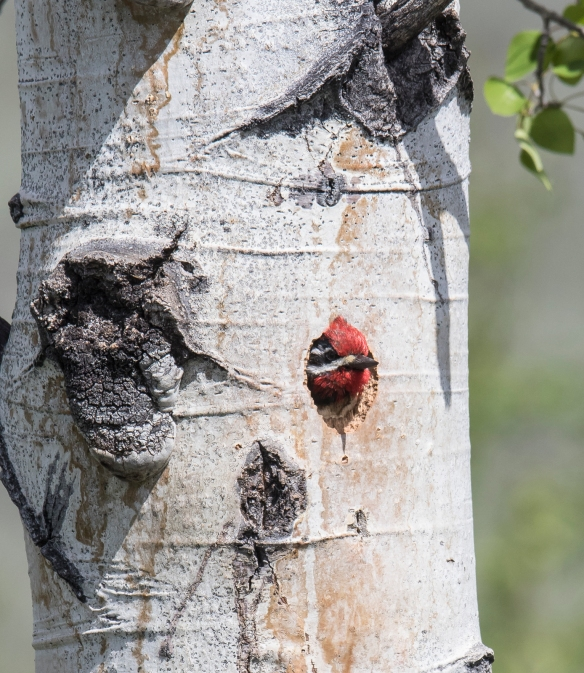 Red-naped sapsucker in hole