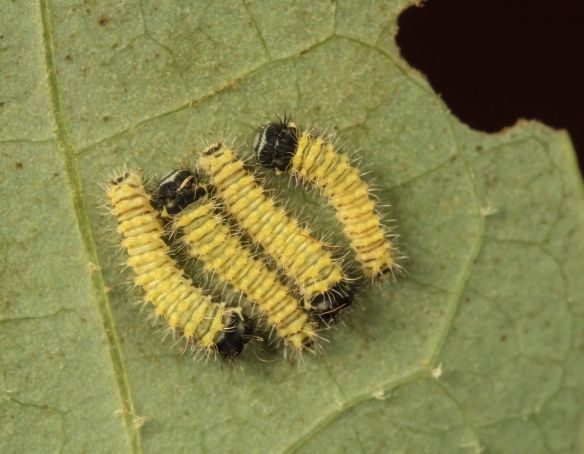 tulip tree silk moth caterpillars after hatching 1