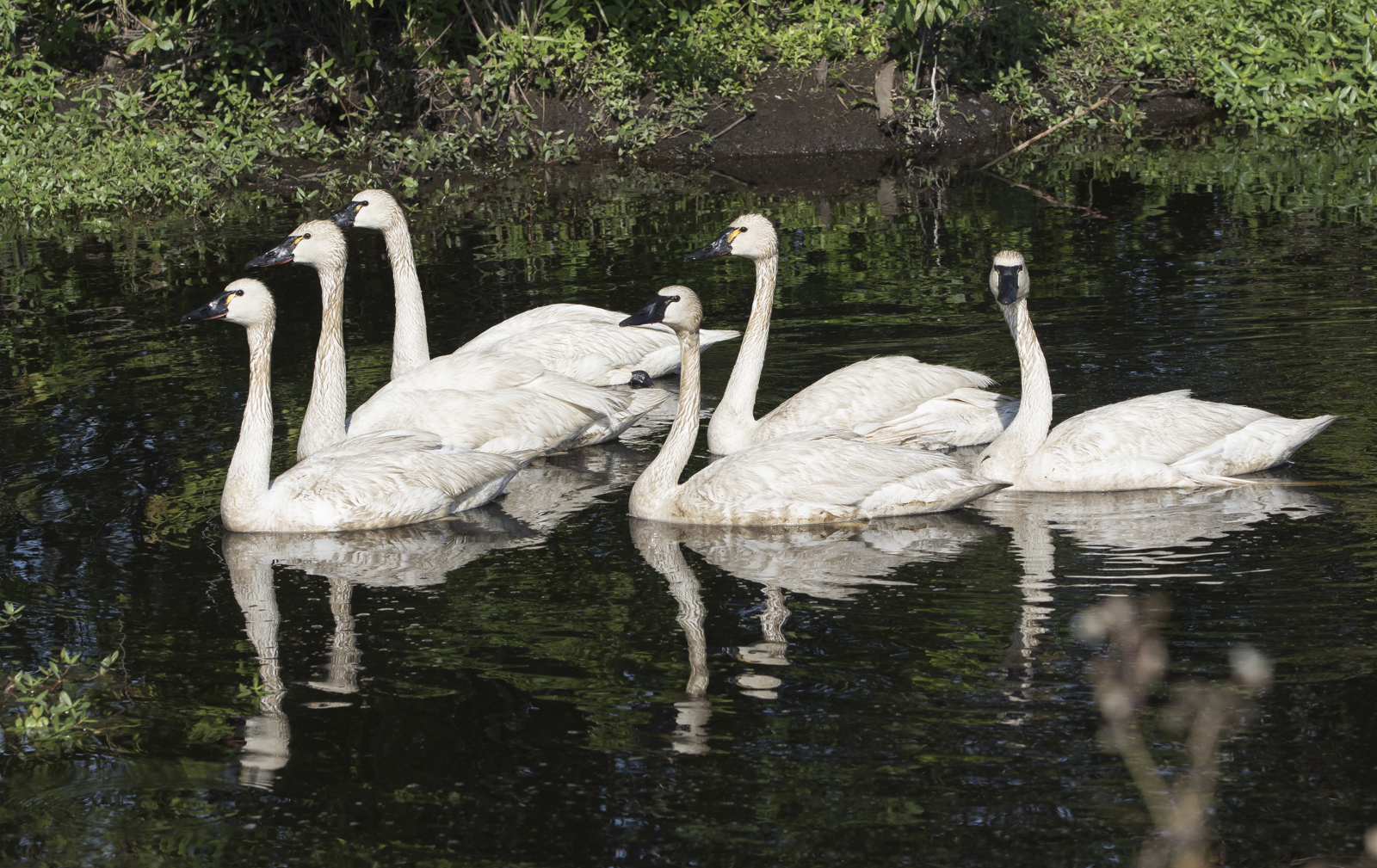 tundra swans in summer