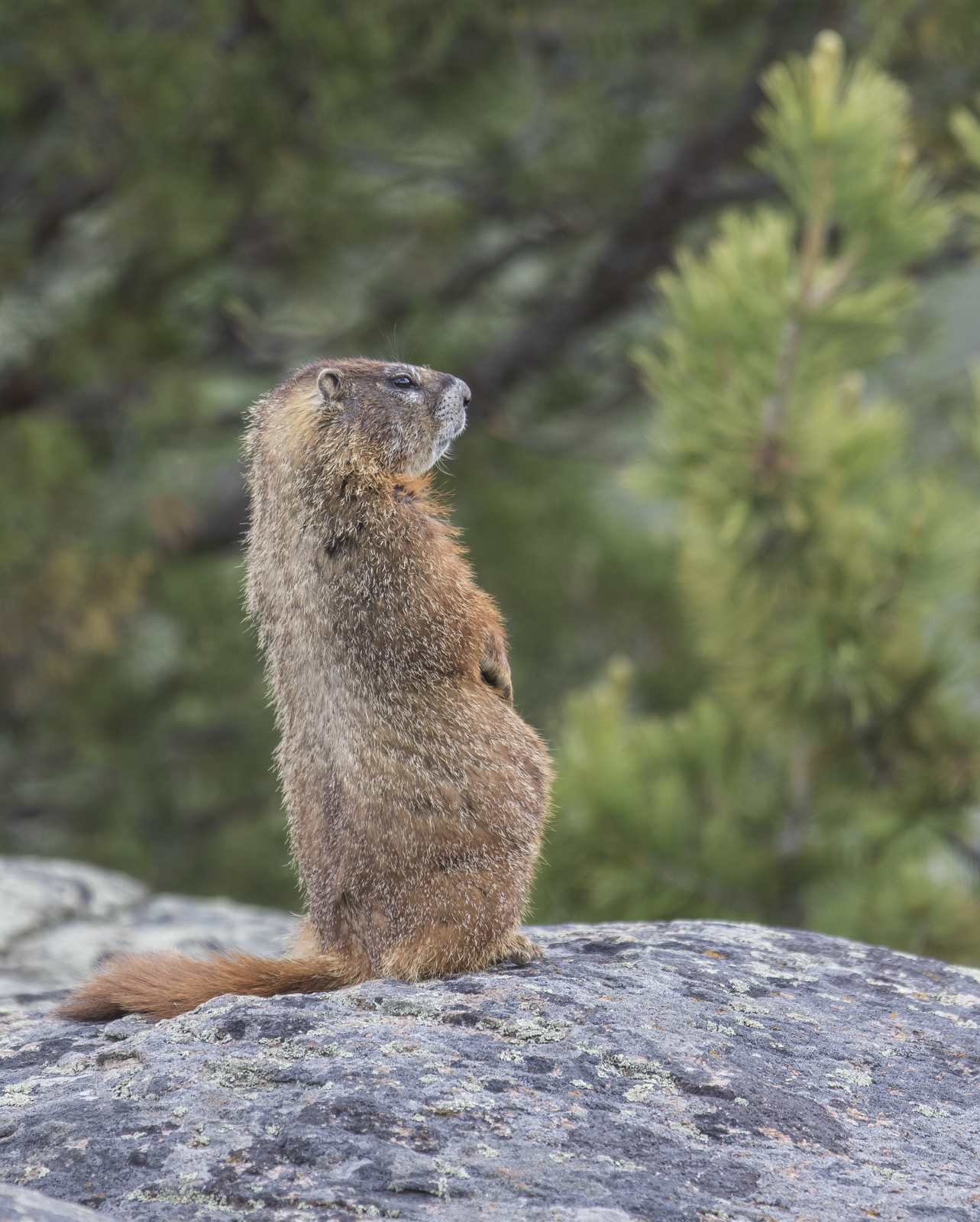 Yellow-bellied marmot watching fox
