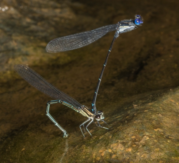Dusky Dancer damselflies in tandem