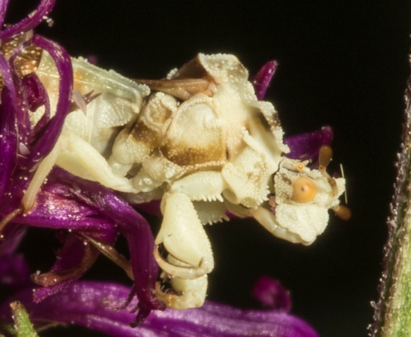 Jagged ambush bug beak