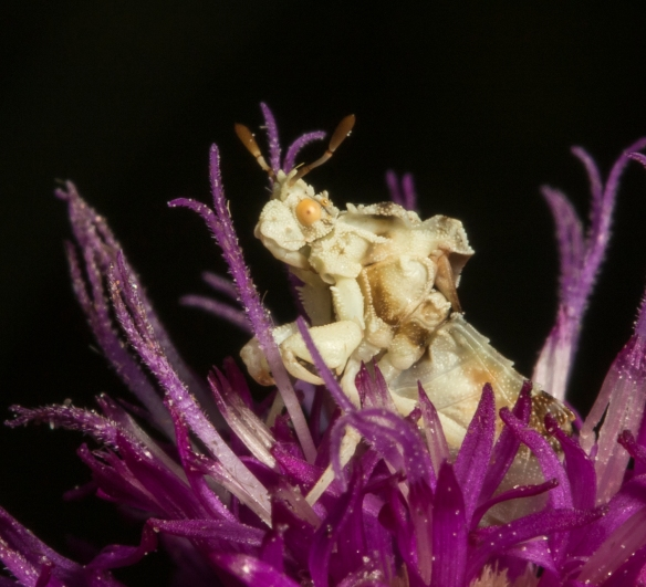 Jagged ambush bug close up
