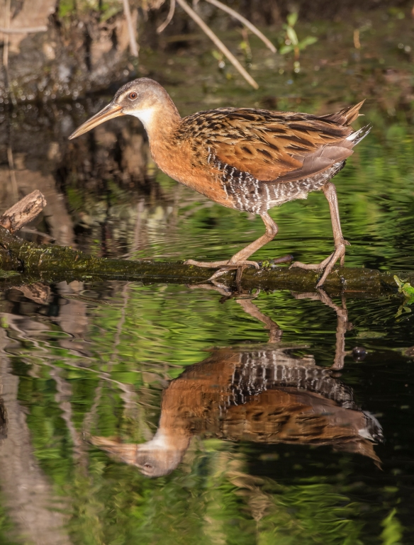 king rail and reflection