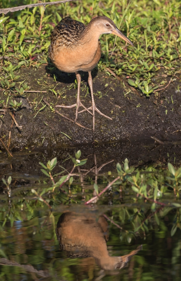 king rail showing feet