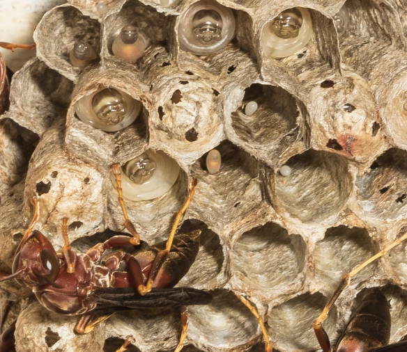 Paper wasp nest close up
