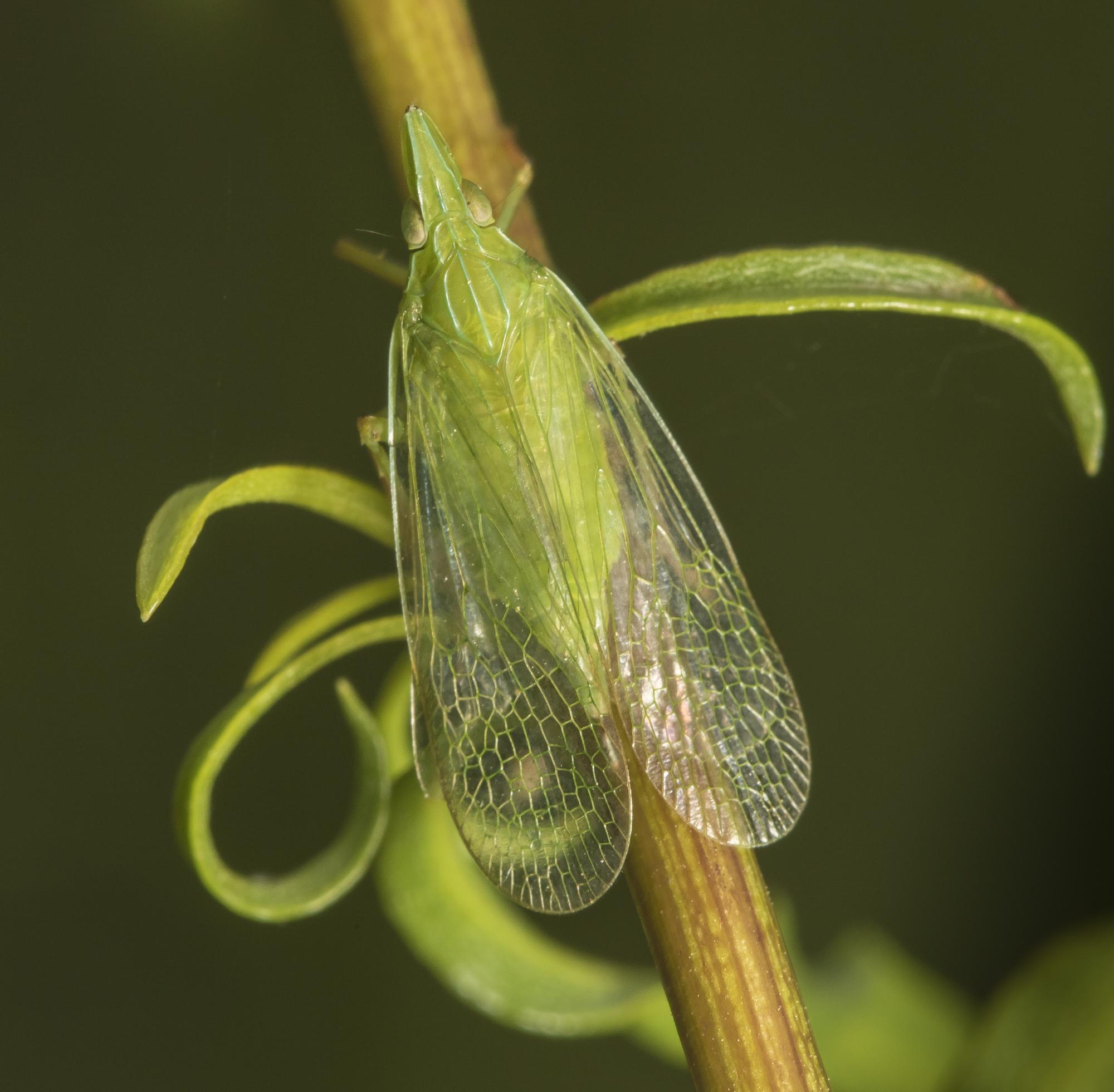 Planthopper - Rhyncomitra microrhina, top view