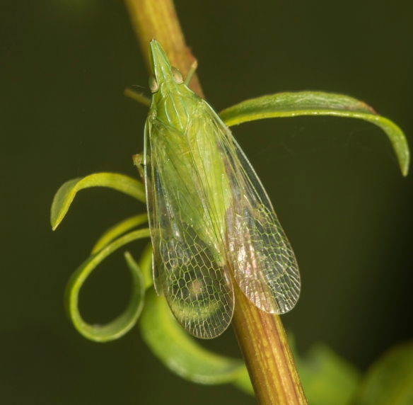 Planthopper - Rhyncomitra microrhina, top view