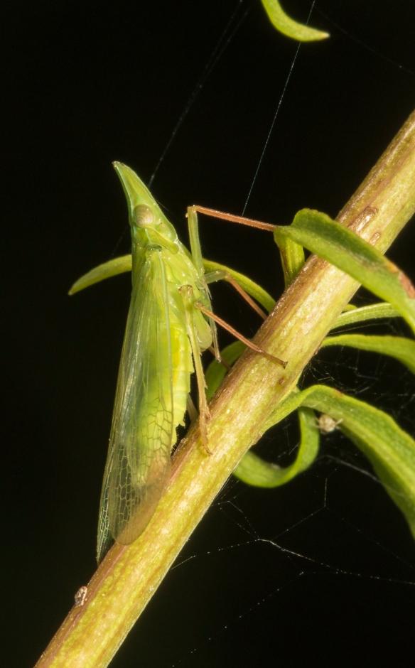 Planthopper - Rhyncomitra microrhina