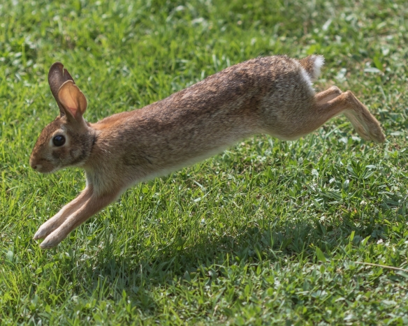 Rabbit running in Garden