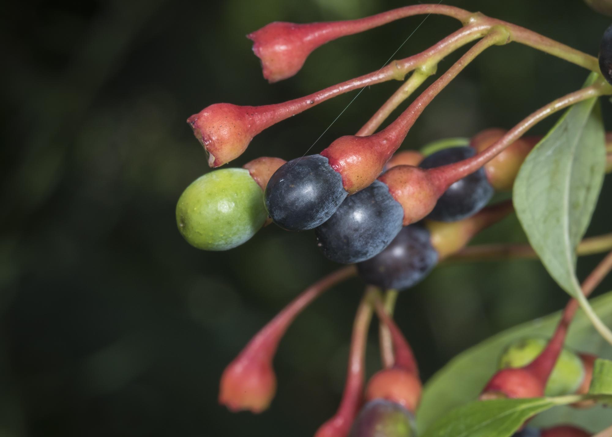 Sassafras berries