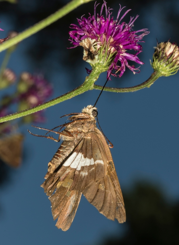Silver-spotted skipper hanging from Ironweed
