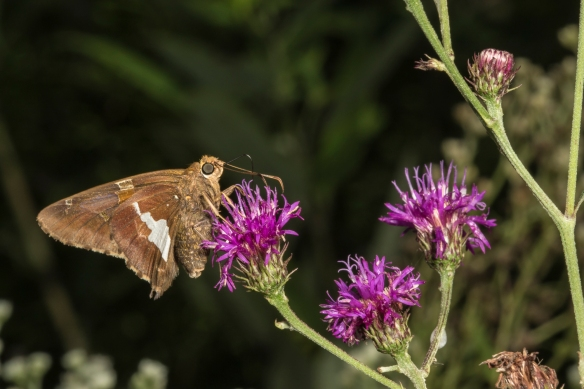 Silver-spotted skipper on ironweed