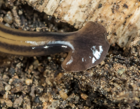 Terrestrial flatworm head