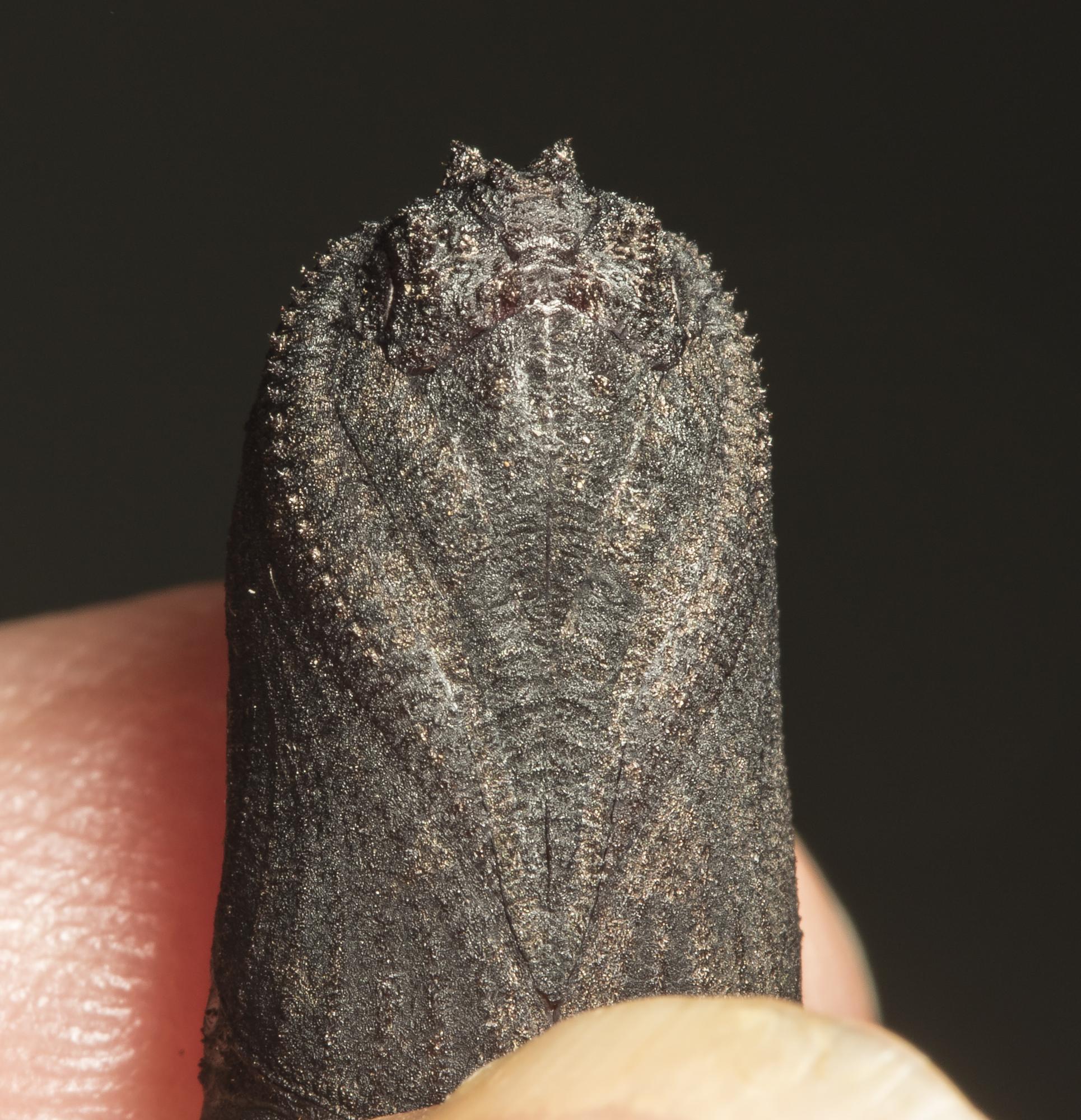 Walnut sphinx pupa