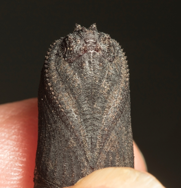 Walnut sphinx pupa