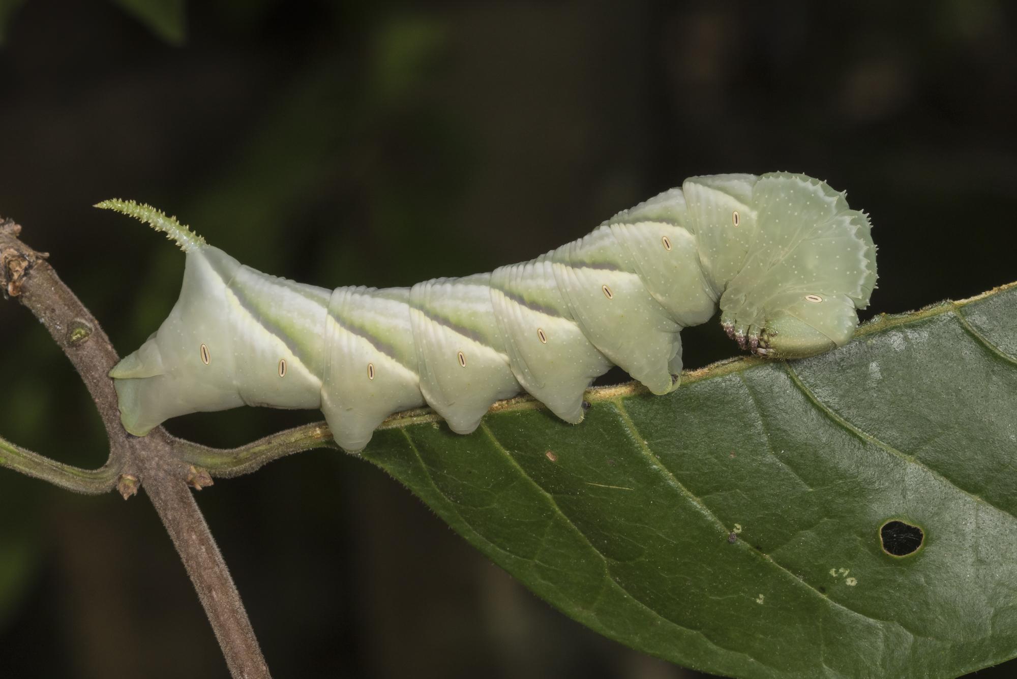 Waved sphinx larva