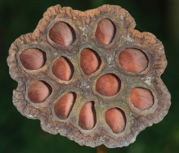American lotus seeds close up