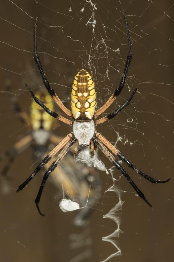 Argiope spiders