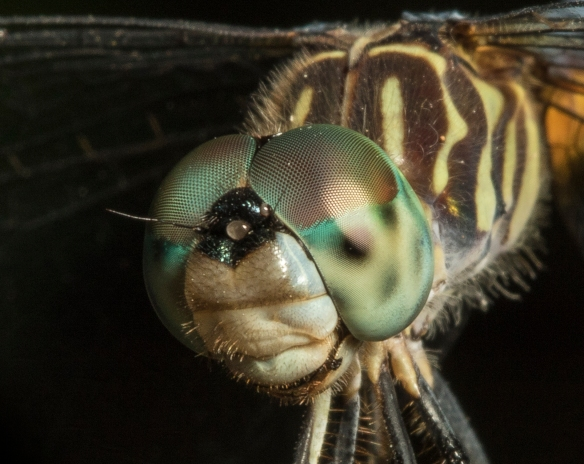 Blue dasher head shot