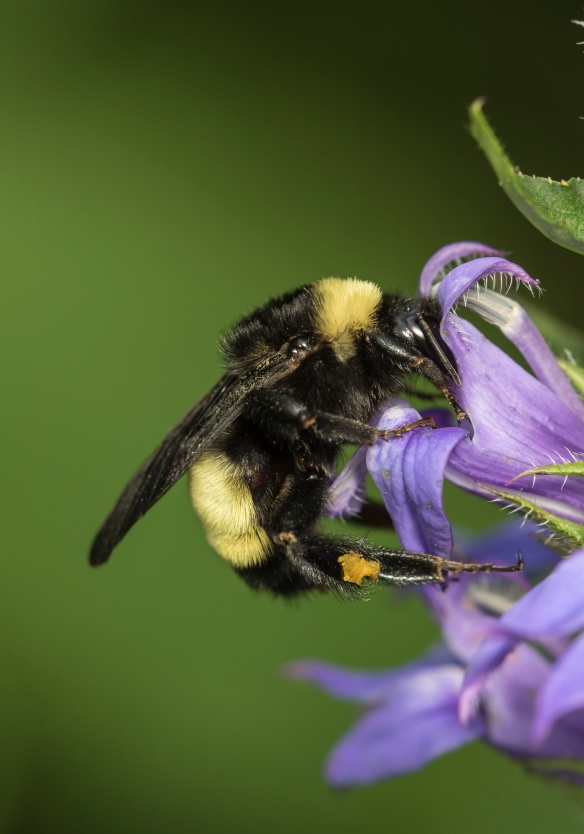 Bumblebee on Great Blue Lobelia