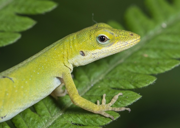 Carolina anole young