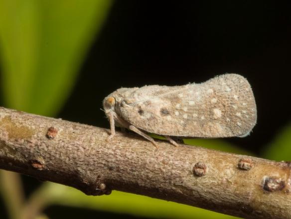 Citrus Flatid Planthopper