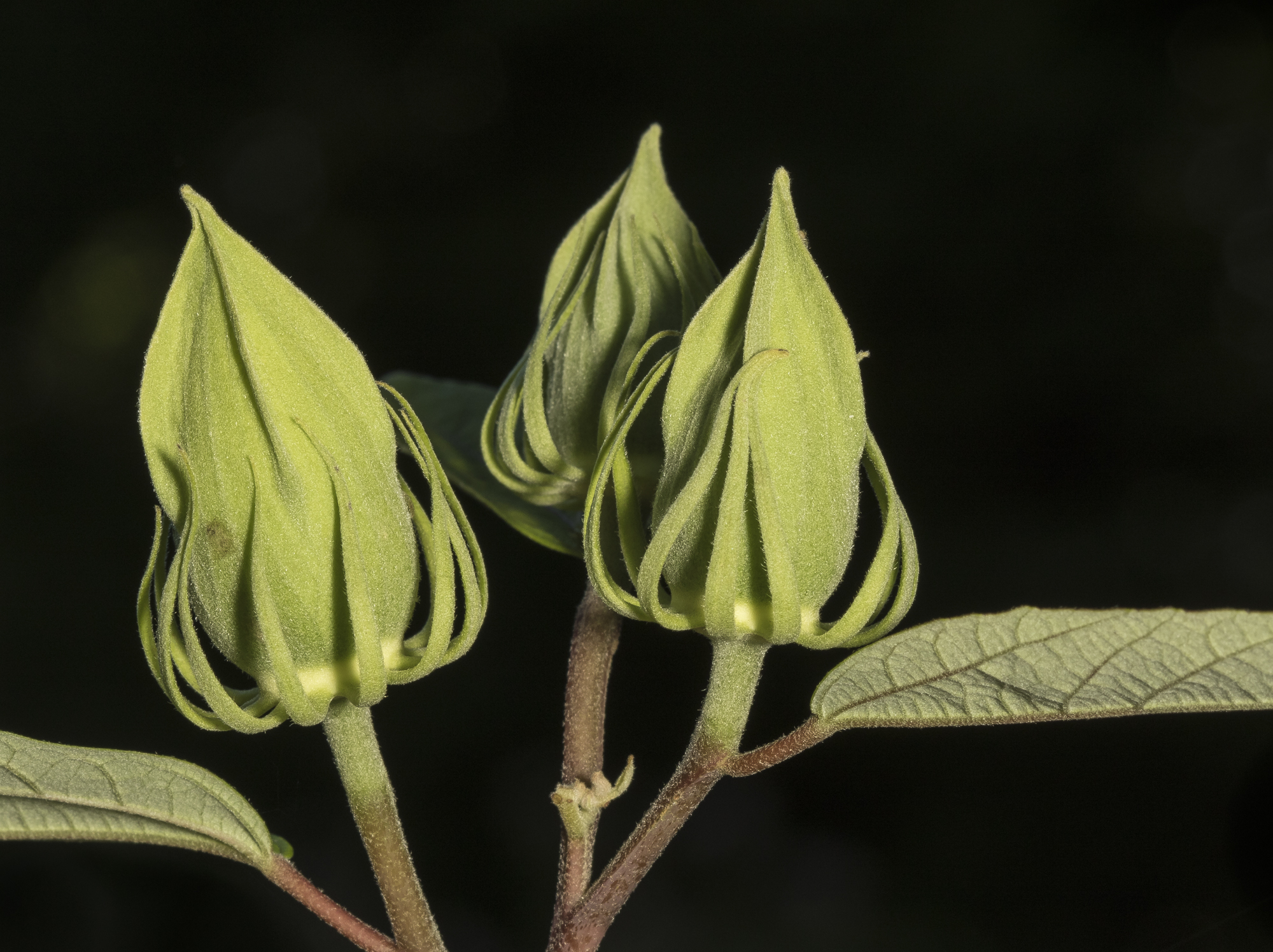 Hibiscus flower buds