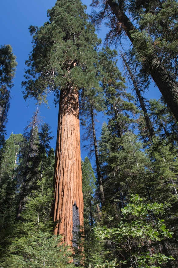 Huge sequoia