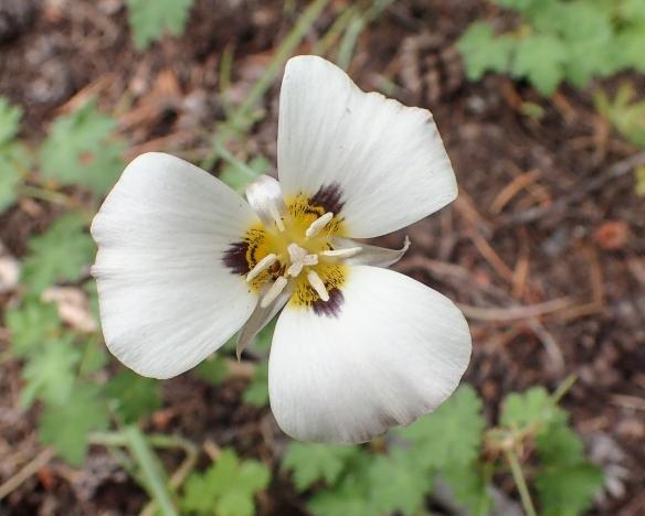 Leichtlin's Mariposa Lily