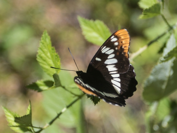 Lorquin's admiral wings open