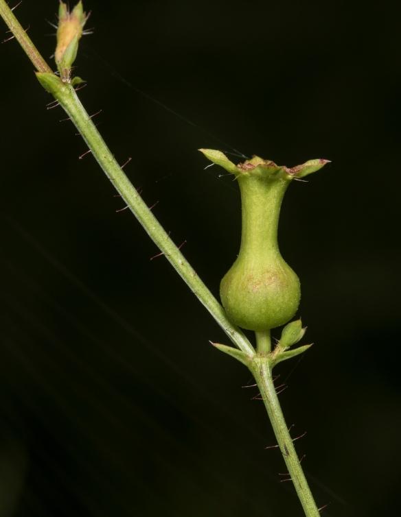 """Meadow beauty seed """"pod"""""""