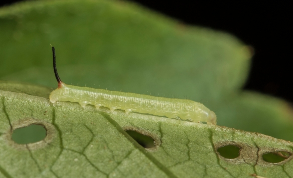 Nessus sphinx larva about 2 days after hatching