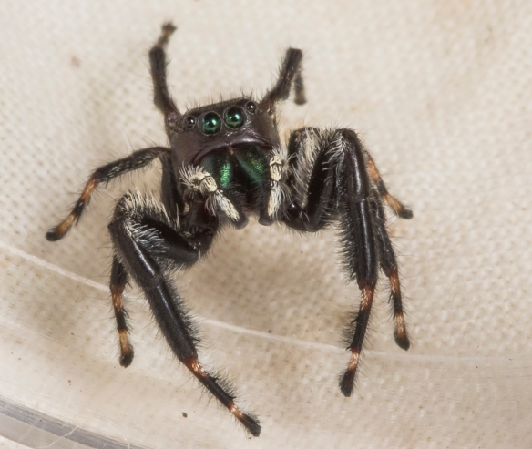 Phidippus clarus, Brilliant Jumper, looking up