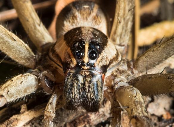 Rabid wolf spider, Rapidosa rapida?