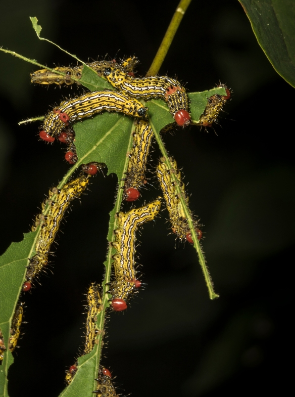 Red-humped caterpillars 1