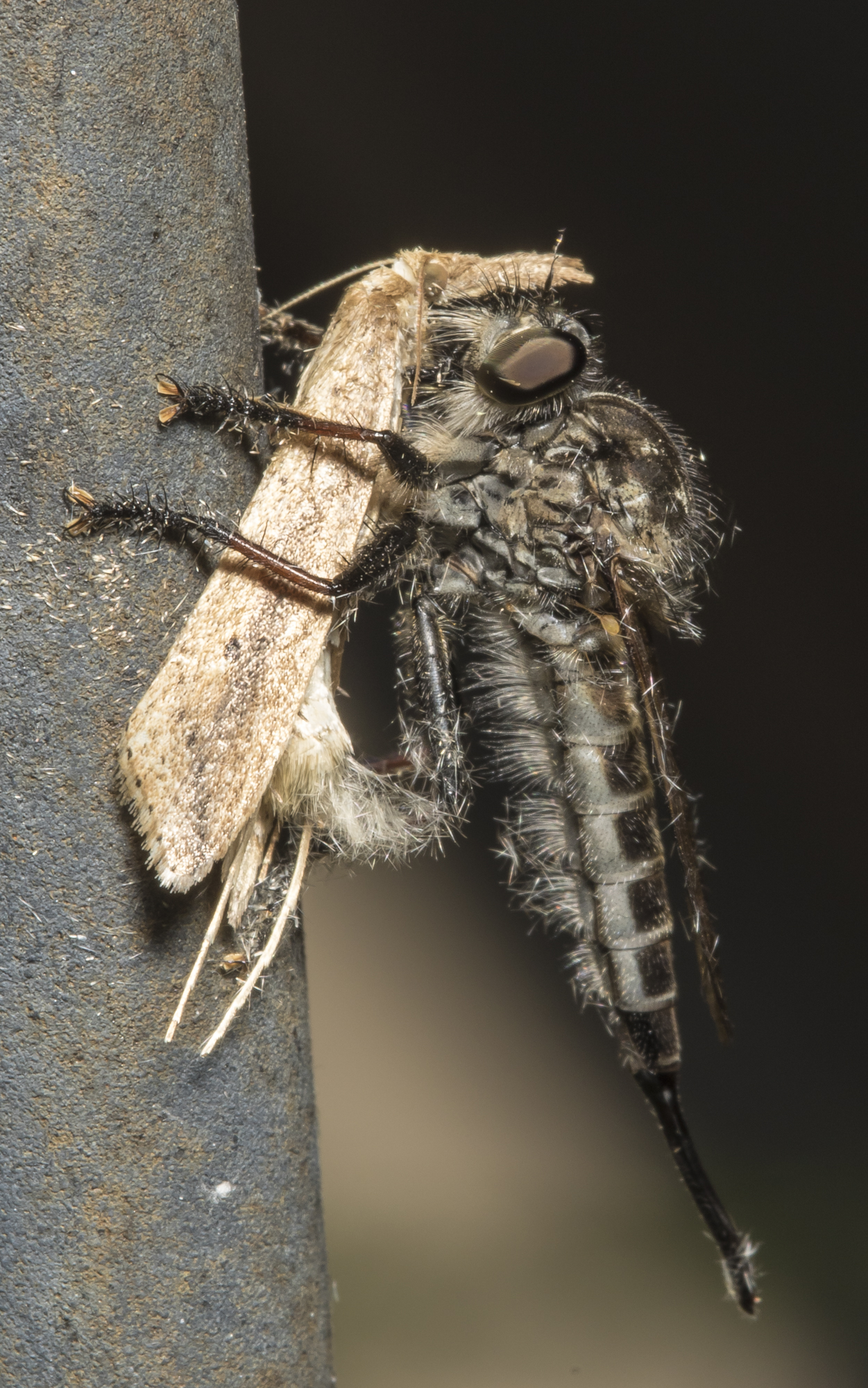 Robber fly and moth victim