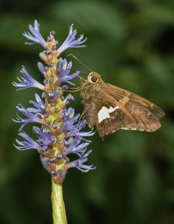 Silver-spotted skipper on pickerel weed