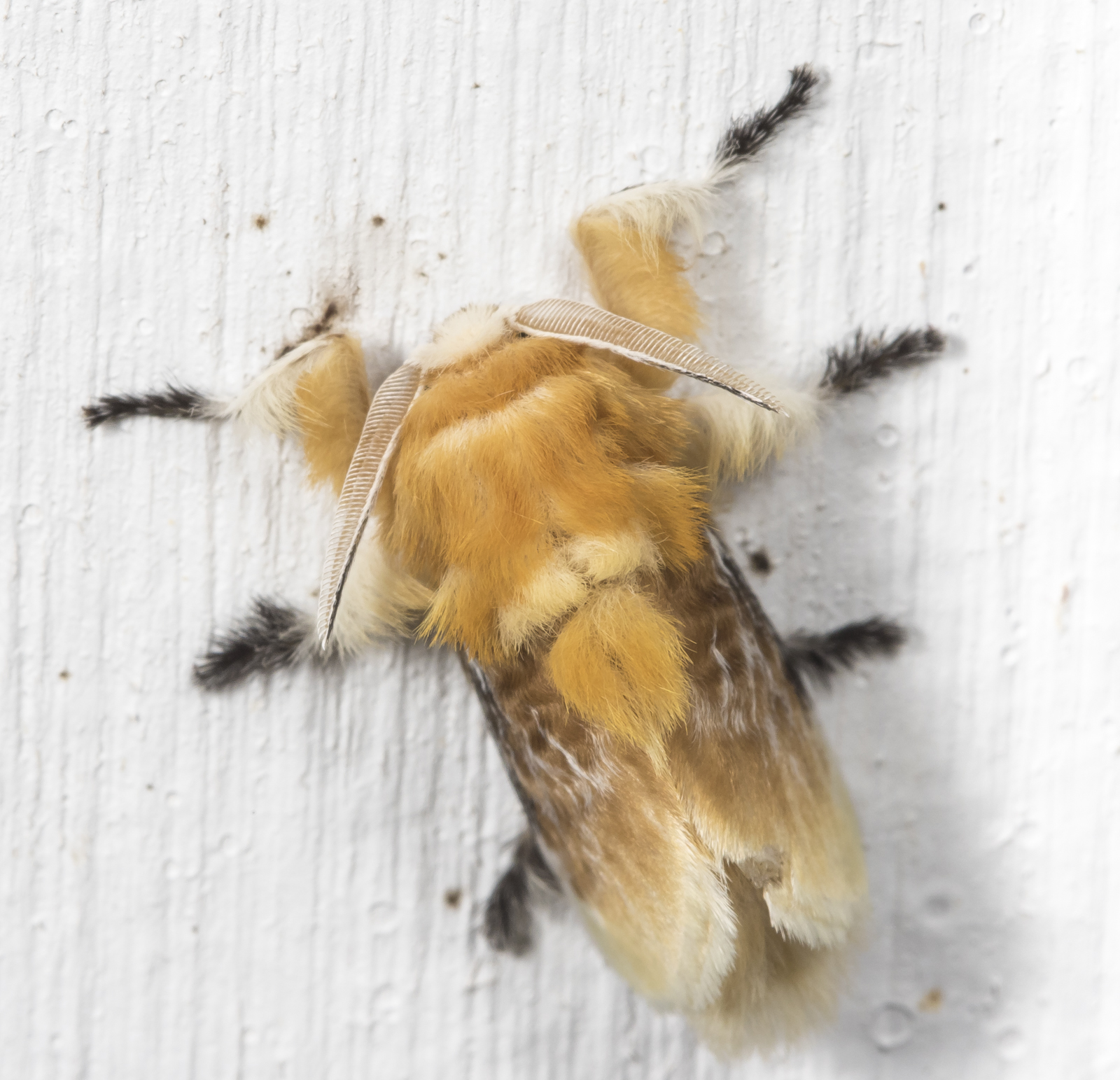 Southern flannel moth