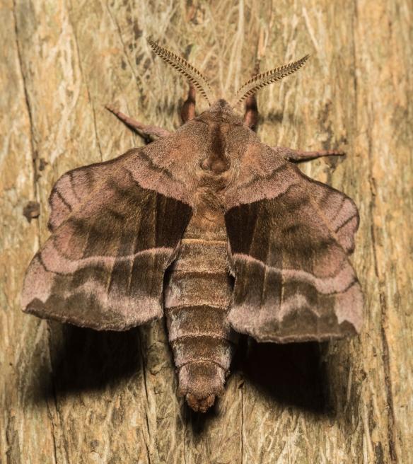 Walnut sphinx moth just after emergence
