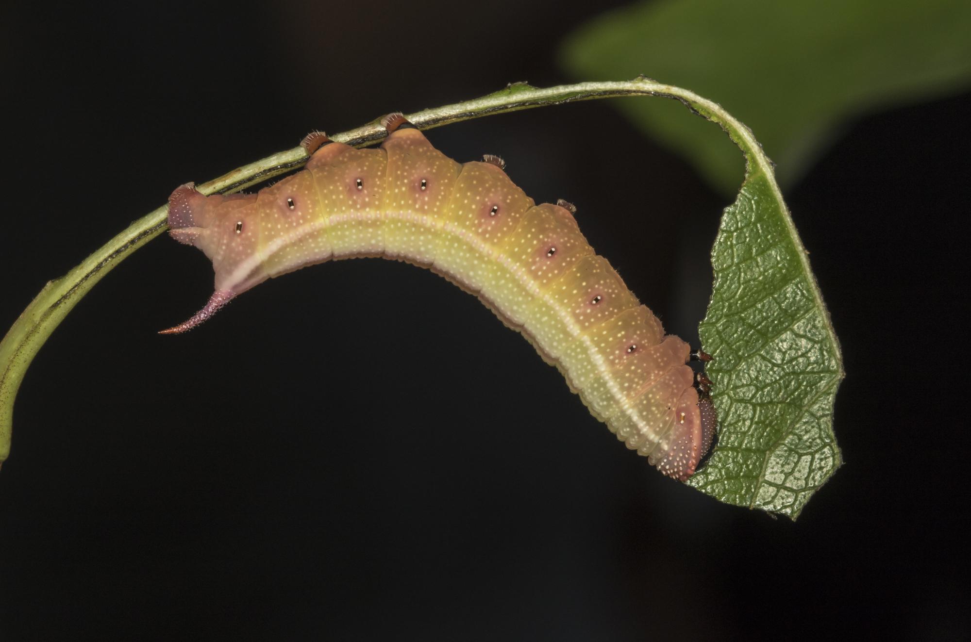 Hummingbird sphinx larva
