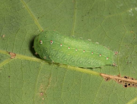 Nason's slug