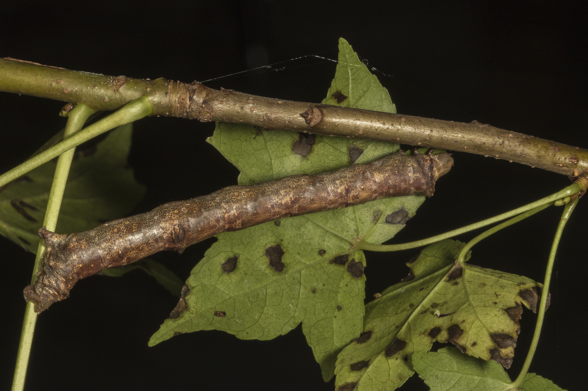 Purplish brown looper larva - twig mimicg