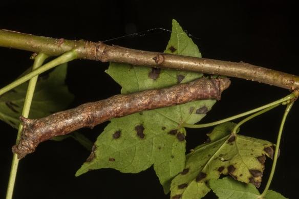 Purplish brown looper larva - twig mimicg