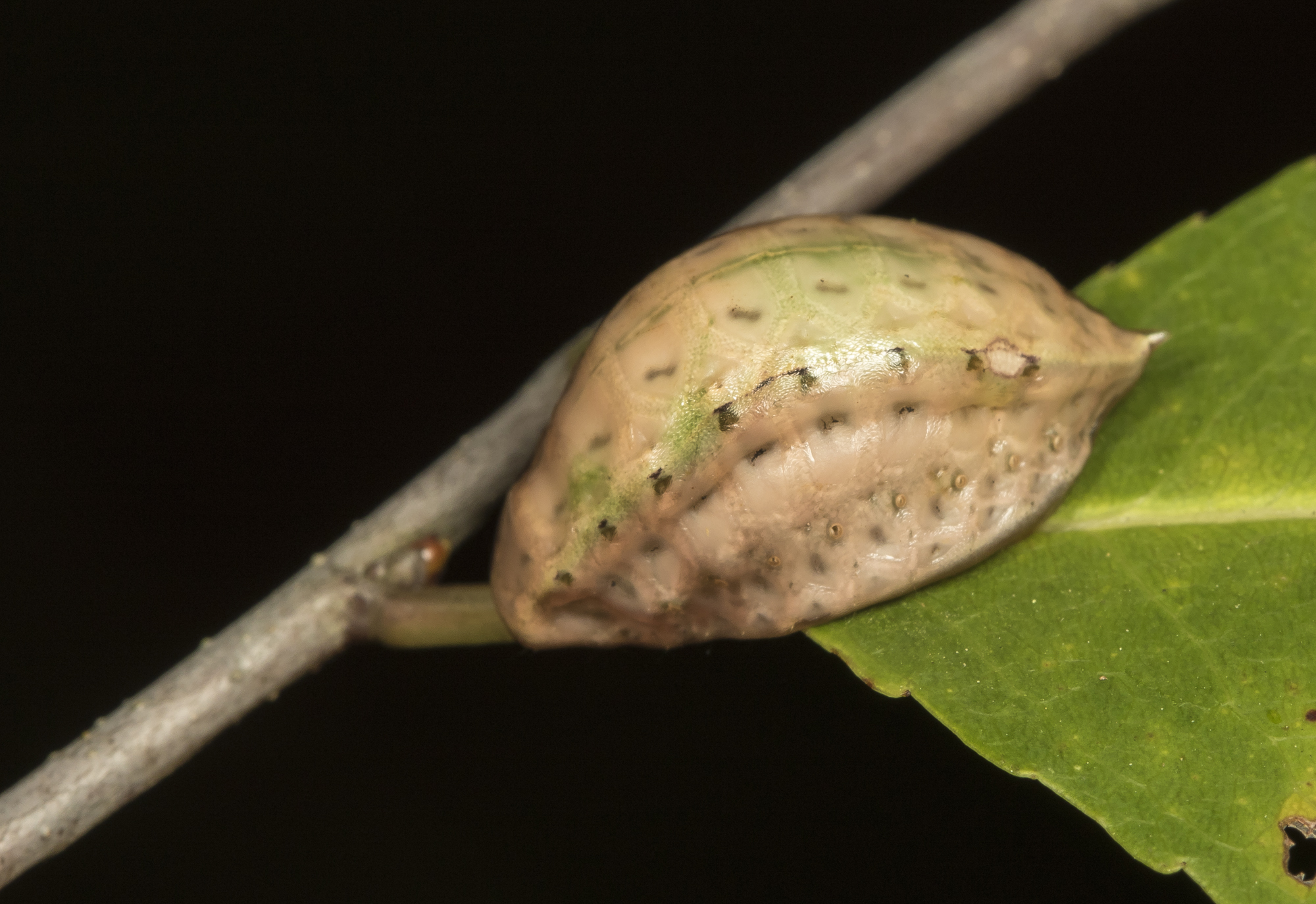 Skiff moth larva approaching pupation
