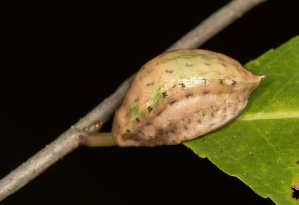Skiff moth larva approaching pupation