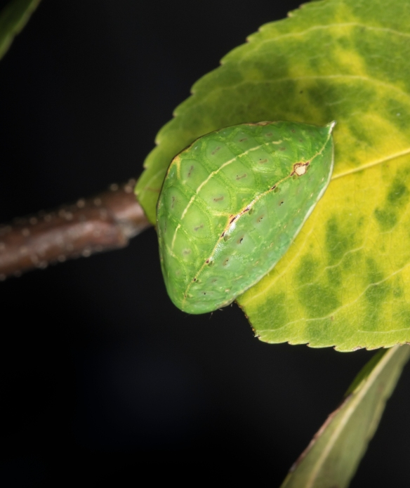Skiff moth larva on cherry