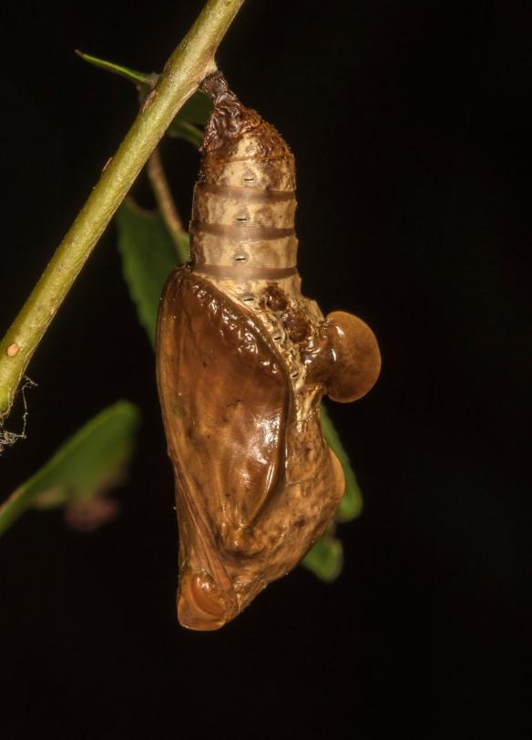 Viceroy chrysalis