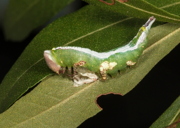 Smaller parasa