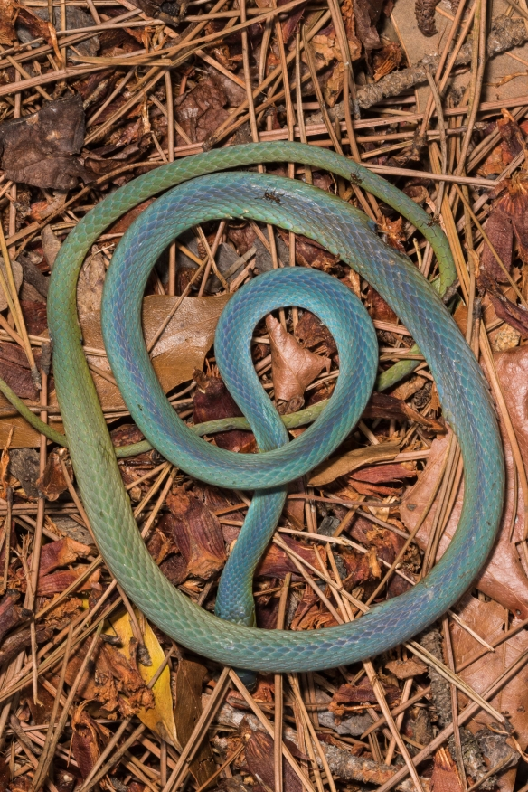 Dead rough green snake turning blue
